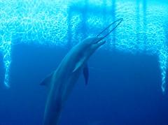 short-beaked common dolphin(0.0), stenella(0.0), humpback whale(0.0), animal(1.0), marine mammal(1.0), common bottlenose dolphin(1.0), marine biology(1.0), dolphin(1.0), spinner dolphin(1.0),