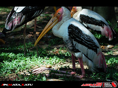 animal, wing, fauna, ciconiiformes, marabou stork, beak, bird, seabird, wildlife,
