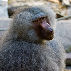 western gorilla(0.0), japanese macaque(0.0), animal(1.0), baboon(1.0), monkey(1.0), mammal(1.0), fauna(1.0), close-up(1.0), old world monkey(1.0), macaque(1.0), wildlife(1.0),