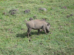 animal, pig, grazing, fauna, pig-like mammal, warthog, pasture, wildlife,