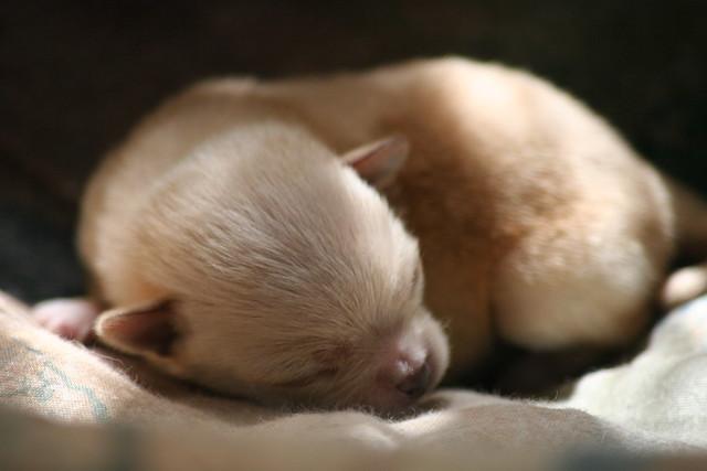 Tiny Sleeping Puppy Chihuahua