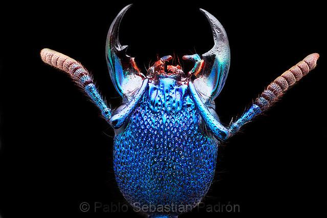 Plochionocerus sp.