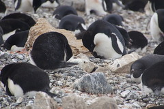 239 Brown Bluff  Adeliepinguins met kuikens