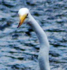 albatross(0.0), wing(0.0), great egret(0.0), animal(1.0), water bird(1.0), swan(1.0), fauna(1.0), heron(1.0), beak(1.0), bird(1.0), wildlife(1.0), egret(1.0),