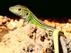 agama(0.0), animal(1.0), reptile(1.0), lizard(1.0), macro photography(1.0), fauna(1.0), close-up(1.0), lacerta(1.0), lacertidae(1.0), dactyloidae(1.0), iguana(1.0), scaled reptile(1.0), wildlife(1.0),