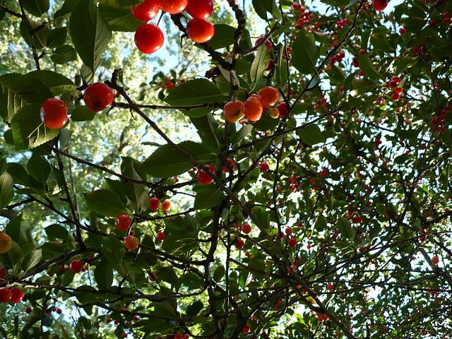 Sour cherry harvest | Flickr - Photo Sharing!