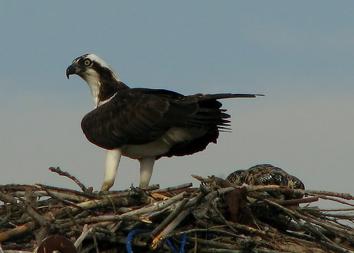 Osprey with fledgling