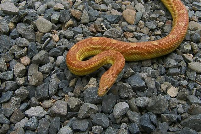 Caramel Motley Corn Snake Corn Snake Hypo Motley Het