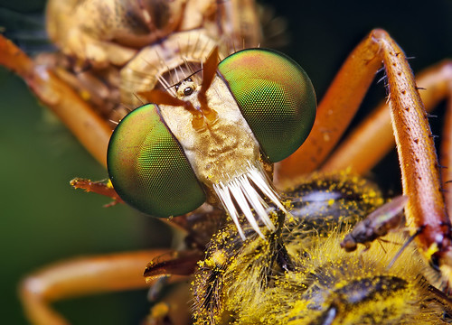 """""""Hanging-Thief"""" Diogmites Robber Fly"""