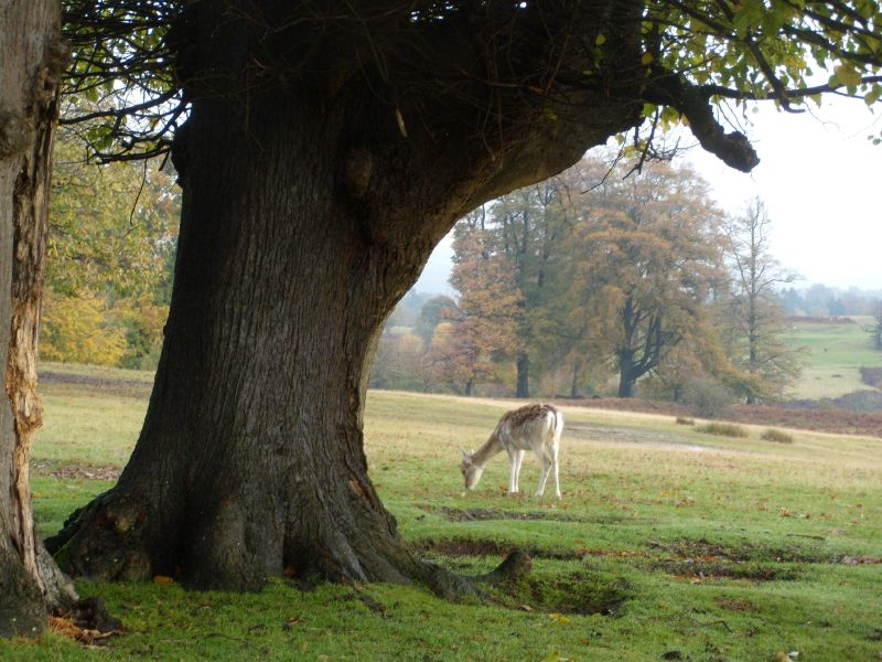 Tree and deer Sevenoaks Circular