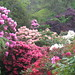 Group of rhododendrons, Hopkirk's Gardens by 7west