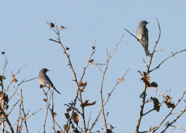 Mountain Bluebirds Two In Tree 20081112