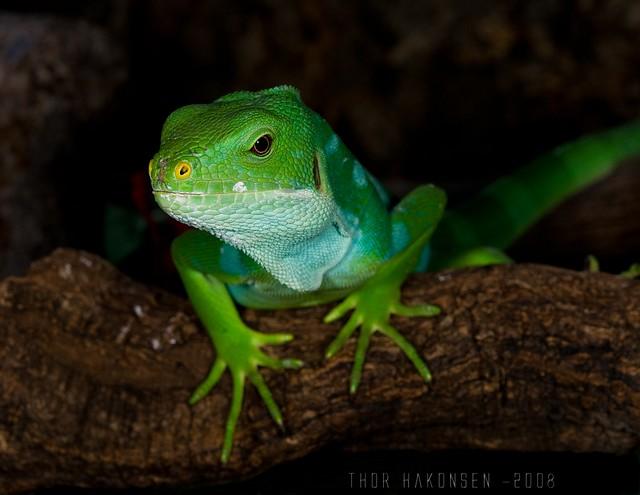 Brachylophus fasciatus - Fiji Banded Iguana