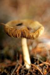 mature mushroom    MG 0194