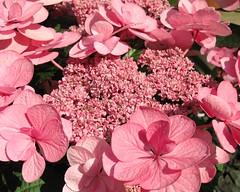 Hydrangea macrophylla / 額紫陽花(ガクアジサイ)