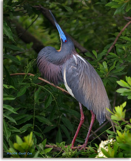 Tricolored Heron, breeding display