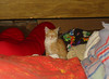20080508 - Oranjello amongst blankets and pillows - 156-5634 by Rev. Xanatos Satanicos Bombasticos (ClintJCL)