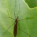 Giant Crane Fly - Photo (c) James Gaither, some rights reserved (CC BY-NC-ND)