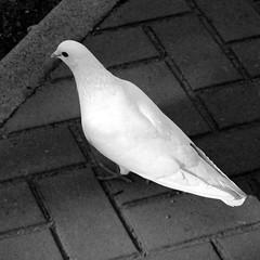 Paloma Dove_2