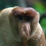 Proboscis Monkey, Singapore