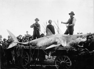 Shark caught at Port Chalmers, ca 1900