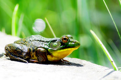 animal, amphibian, frog, nature, macro photography, green, fauna, close-up, ranidae, bullfrog, wildlife,
