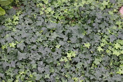 annual plant, leaf, subshrub, herb, green, ivy, groundcover,