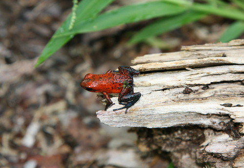 Dendrobates pumilio - Blue-jeans Frog (ssp. of Strawberry Poison Dart Frog)