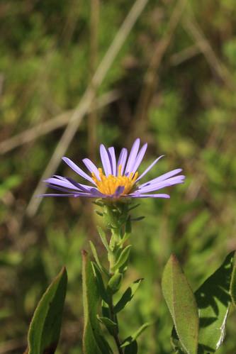 Aromatic Aster - Aster oblongifolius