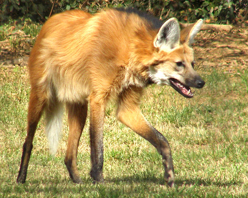 Maned Wolf: Seemingly Mythical (#2)
