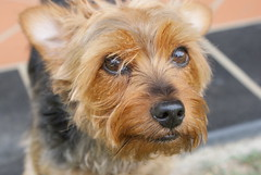 dog breed, animal, dog, schnoodle, australian silky terrier, norfolk terrier, glen of imaal terrier, mammal, vulnerable native breeds, norwich terrier, morkie, lakeland terrier, irish terrier, cairn terrier, australian terrier, yorkshire terrier, terrier, airedale terrier,