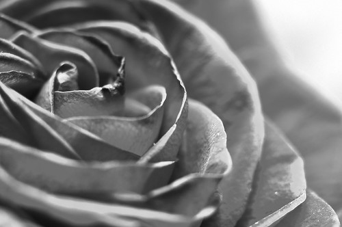 Day 240 of 365 - Rose