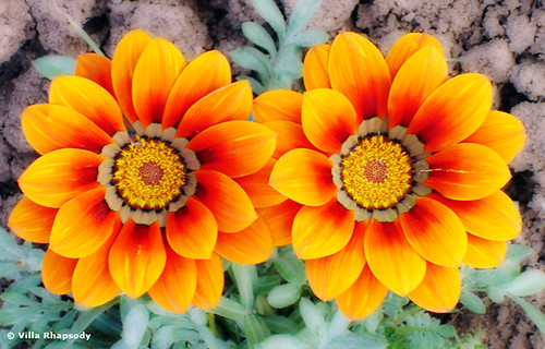 I know, I know, more gazania's!