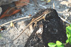 "<a href=""http://www.flickr.com/photos/jroldenettel/2398246961/"">Photo of Sceloporus variabilis by Jerry Oldenettel</a>"