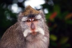 animal, primate, fauna, close-up, old world monkey, new world monkey, wildlife,
