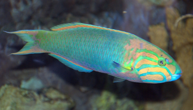 Real Rainbow Fish