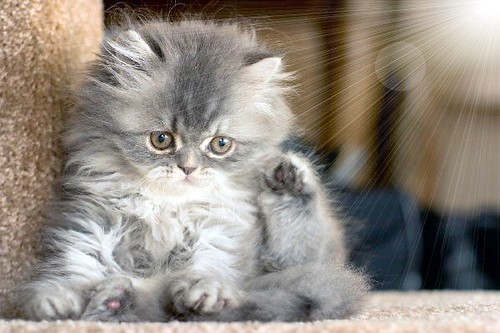 Very Fluffy Kittens Fluffy Kitten