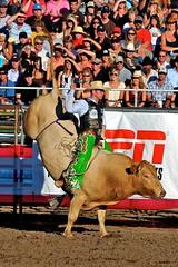 western riding(0.0), equestrian sport(0.0), fair(0.0), jockey(0.0), barrel racing(0.0), animal sports(1.0), rodeo(1.0), cattle-like mammal(1.0), bull(1.0), event(1.0), sports(1.0), bull riding(1.0),