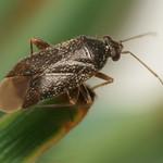 Phoenicocoris obscurellus