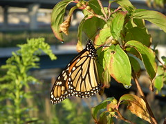 Flowers at North Point Park - Monarch butterfly on a leaf