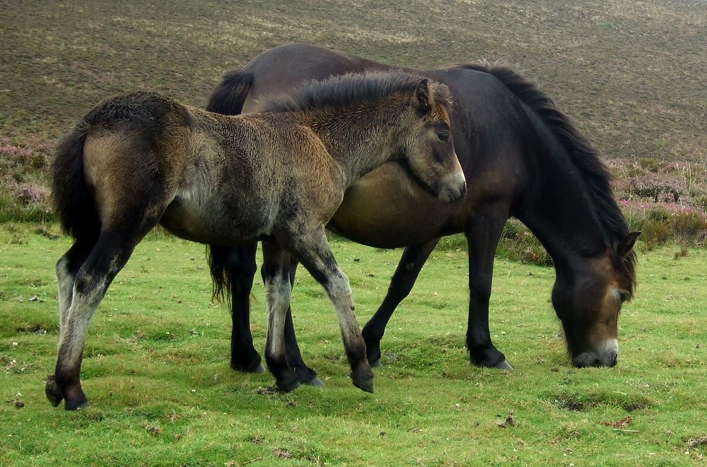 Exmoor ponies ©David Masters