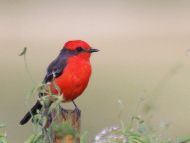 Vermillion Flycatcher - August 31st - Arizona
