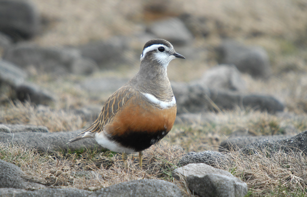 Dotterel Portrait