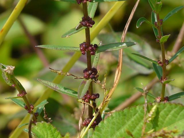 Header of Ammannia baccifera