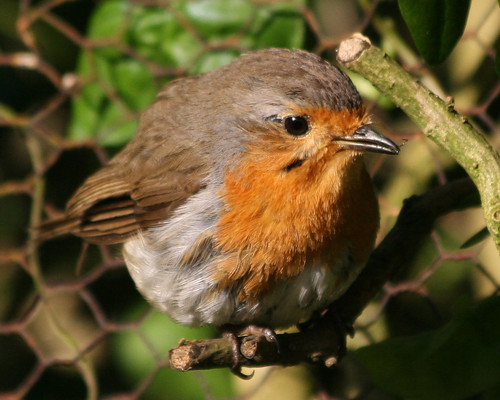 Big fat fluffy robin !