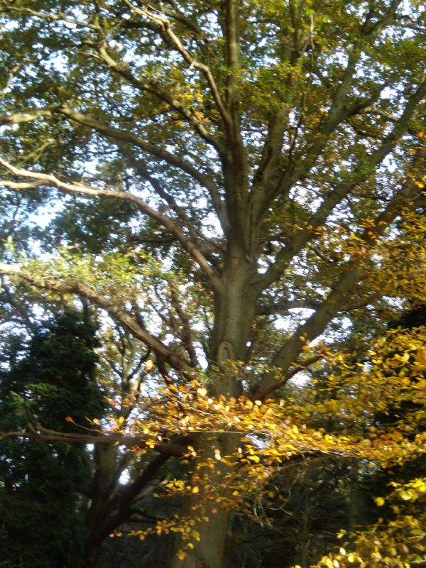 Autumn colour Guildford Circular via Chantries Hill