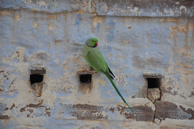 Indian Green Parrot http://www.flickr.com/photos/lauradunnmark/3073595221/