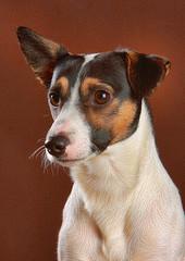 dog breed, animal, dog, brazilian terrier, pet, miniature fox terrier, toy fox terrier, parson russell terrier, rat terrier, russell terrier, carnivoran, jack russell terrier, terrier,