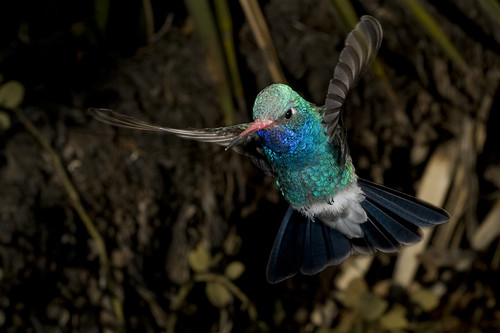 male_broad-billed_hummingbird