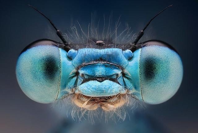 šidielko modré